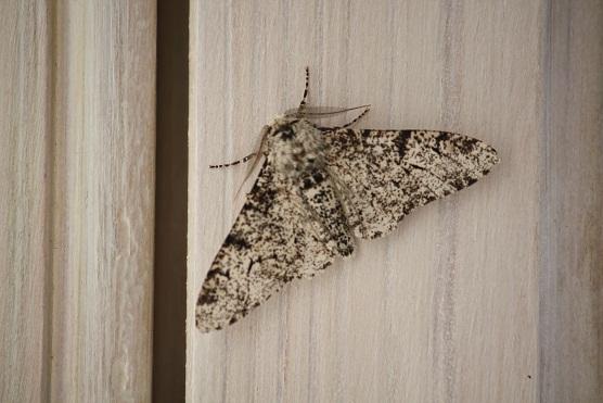 La pureza del aire que respiro ahora mismo viene corroborada por este ejemplar de Biston betularius sobre mi ventana hace unos días.  MF-A