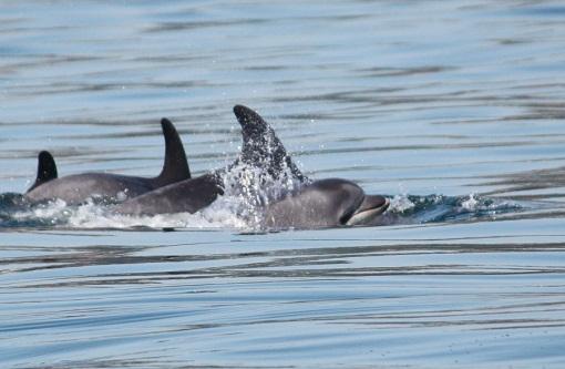 Incluso de noche, salen los delfines mulares a cabalgar las olas con los surfistas./Even at night, the bottlenose dolphins come out to ride the waves with the surfers. MF-A