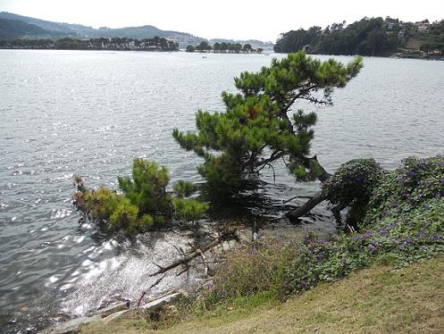 Parece imposible que este pino, cubierto parcialmente por el agua salada en las pleamares del bellísimo Esteiro da Foz de la ría de Vigo, pueda sobrevivir. Joaquín
