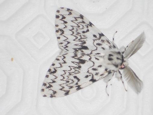 Monja (Lymantria monacha , L.)