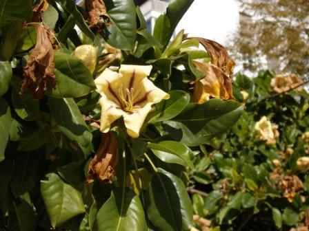 Otra de las plantas que hay en el parque, sin ser un árbol, da una sombra espléndida y unas flores muy llamativas, de trata de la planta Solandra maxima.