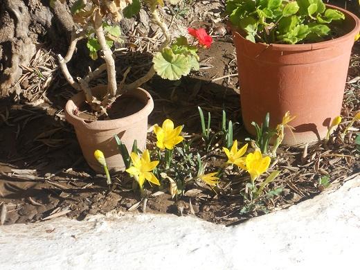 Al pie de un olivo centenario cuyo tronco se aprecia al fondo, Rafael, un buen agricultor ya jubilado, había sembrado hace ya bastantes años unas cuantas semillas de azafrán dorado.
