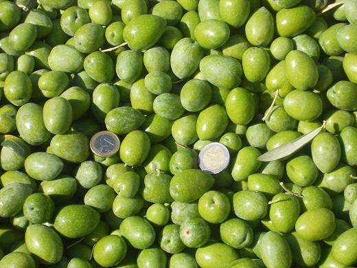 Coincidiendo con la floración del azafrán dorado, hace 15 días comenzamos la recolección de la aceituna de verdeo.