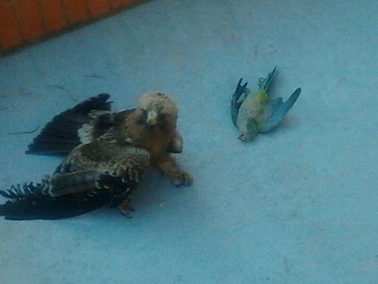 Un águila que en la Isla de la Cartuja de Sevilla venía persiguiendo a  un periquito cimarrón se estrelló contra la fachada de un edificio de oficinas.