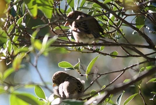 Observé sobre una Rhaphiolepis indica del Real Jardín Botánico, a un grupo de hembras al sol, mientras dos señoras hablaban de su soledad justo debajo. MF-A