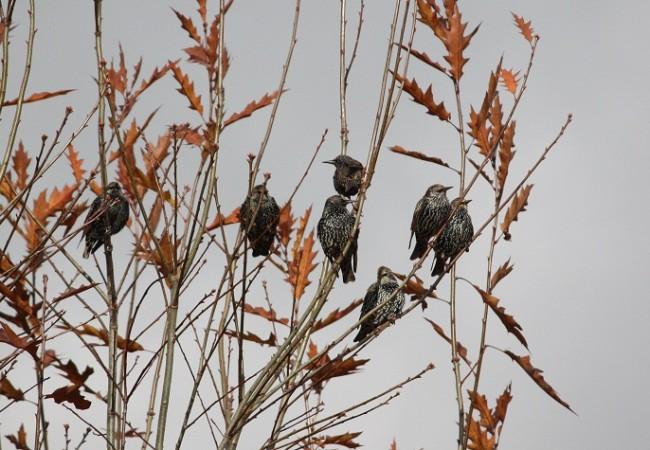 El estornino incorpora a su canto para el resto de su vida lo que escucha, lo que oye con atención, antes de echarse a volar desde el nido.  MF-A