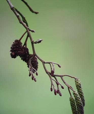 Me sorprende lo pequeñas que son las piñas del aliso y sus diminutas semillas como puntos suspensivos. MF-A