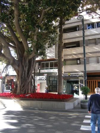 Los pascueros están indicando que la Navidad está cerca y le desean Feliz Navidad al viejo Ficus, que tiene más de cien años.  José Manuel Guerra Sanz