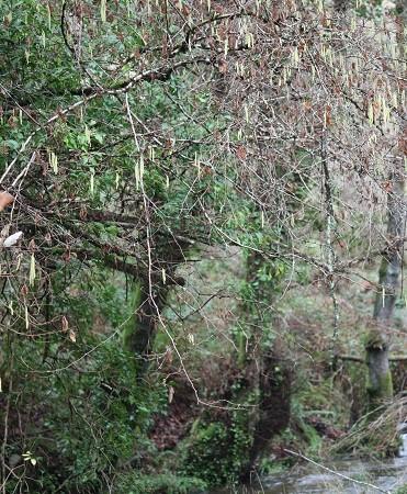 El río y el tren cuando pasan, siembran avellanos sin querer. MF-A  avellano término incorporado hoy al diccionario Aceytuno de la Naturaleza.