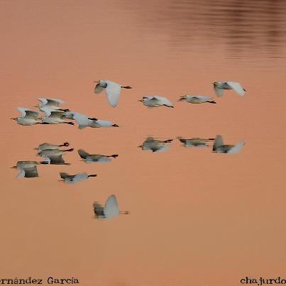 Grupo de garcillas bueyeras volando a ras de agua sobre el río Guadiana, acompañadas por su reflejo.  AUTOR: ATANASIO FERNÁNDEZ GARCÍA  (Las palabras, ¡ese bosque! MF-A)
