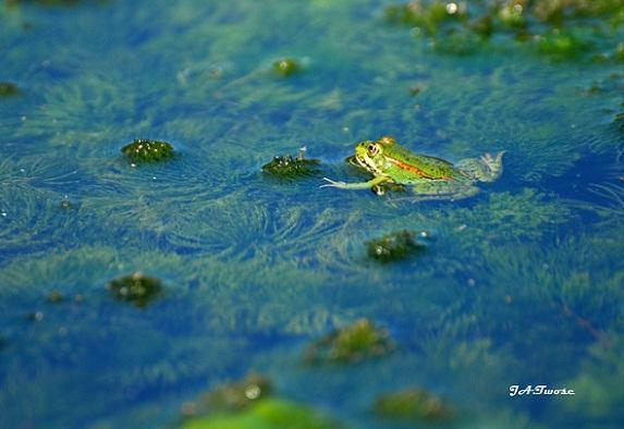 Ranas como ésta caza la atahorma –Circus aeruginosus-, el aguilucho lagunero.  MF-A  AUTOR DE LA FOTO: J.A. Twose