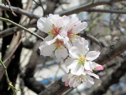Siguen abriéndose al sol los brotes florales del almendro.