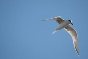 Charrán de alas transparentes bajo el cielo azul / Aceytuno