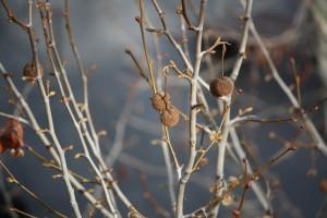 Platanus hispanicus con sus frutos y sus yemas en las ramas/ Aceytuno