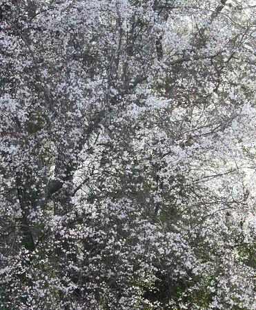 A las flores no les importa el frío.  Aceytuno del jueves, 14-3-2013