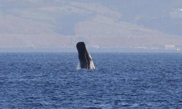 Como otra suerte de viento, soplará la luz a nuestro favor. Aceytuno del miércoles, 20-3-2013  FOTO: Cachalote (Physeter macrocephalus) en el estrecho de Gibraltar.AUTOR:Aurelio Morales