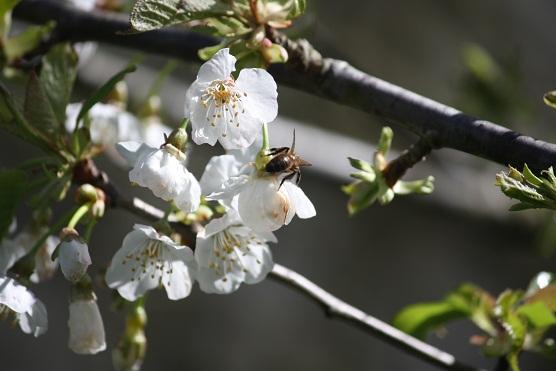 Han florecido los cerezos bajo la lluvia porque la luz, esa riada, es más fuerte que el agua.  Aceytuno del lunes, 1-4-2013