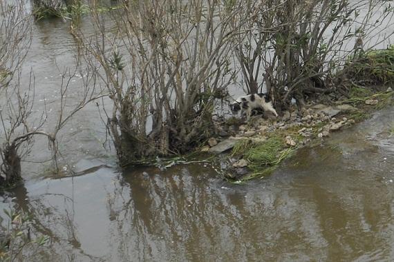 Estando contemplando la crecida del río Alcarrache a su paso por Bogaña, nos dimos cuenta de que un perrillo, arrastrado por la riada, había conseguido refugiarse en un pequeño islote.  Joaquín