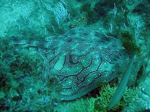 El colorido de los peces se hizo para ser visto bajo el agua. MF-A  FOTO: Raya mosaica (Raja undulata) en Almuñecar. AUTOR: Alexander Van de Ven (Almuñecar Dive Center)