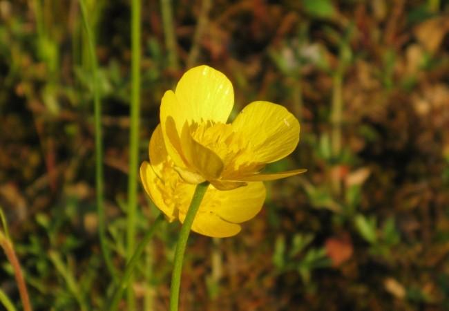 """Han brotado, durante los últimos días soleados, entre los lirios y las viboreras, los ranúnculos, flores a las que también llaman """"botón de oro""""."""
