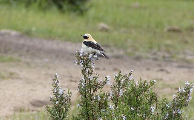 A la collalba rubia la conocí en Ciudad Real en el 1992 cuando el ornitólogo Herbert Karlreuter vino a ver las lagunas de La Venta camino de la Garganta.  RM