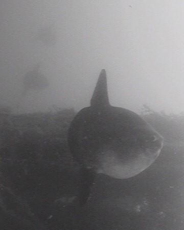He visto muchas fotos del pez luna, un pez del que he escrito varios artículos, pero nunca me había impresionado tanto una imagen suya.  Mónica Fernández-Aceytuno