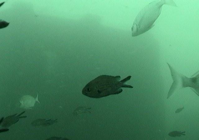 Al verlo pasar por delante del observatorio submarino pensé que a este pez, por su cola ahorquillada, habría que llamarle pez golondrina.  Mónica Fernández-Aceytuno