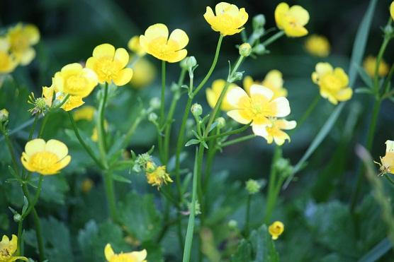 Botones de oro (Ranunculus acris)al sol de esta tarde.  Mónica Fernández-Aceytuno