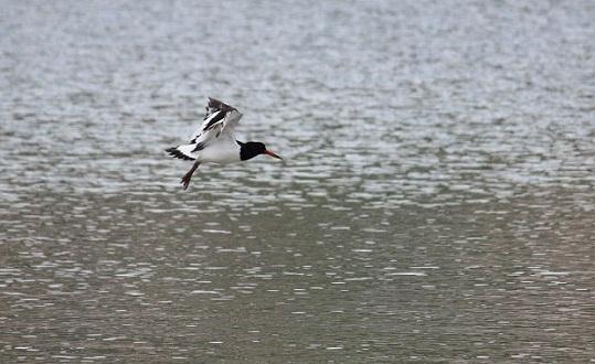 Por la dulzura de su silbido recibe el ostrero, entre Asturias y Galicia, la denominación de gaiteiro de la arena.  Mónica Fernández-Aceytuno