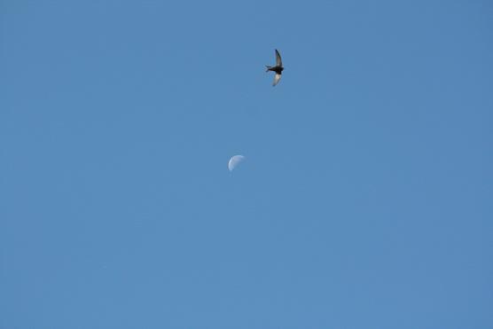 Los vencejos tienen en el dorso de las alas, quizás por la luz del sol, igual que ella, la claridad de la luna.  Mónica Fernández-Aceytuno