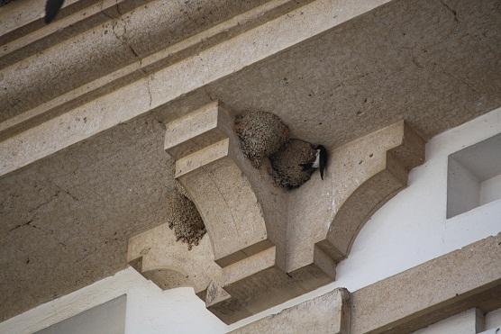 Estos pájaros se llamaron aviones mucho antes de que se inventaran las máquinas voladoras con forma de ave. Se mencionan ya a los aviones en el siglo trece, según Francisco Bernis.  Mónica Fernández-Aceytuno
