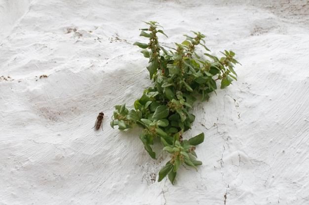 Como el blanco de la cal por personas de Jimena de la Frontera, Cádiz, el verdor de la planta con sus semillas.  Juan Barba Vidal