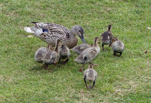 ¿Por qué será que el grupo familiar del ánade real lo forman siempre la hembra y sus patitos?  Isabel Fernández Bernaldo de Quirós