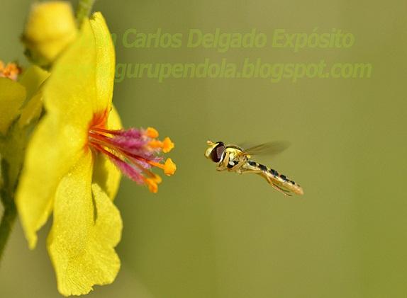 La avispilla de la foto, llegaba a la flor de gordolobo para alimentarse.  Juan Carlos Delgado Expósito