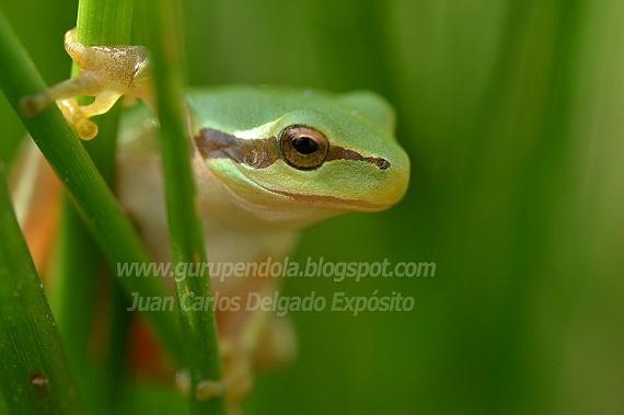 La mañana de este sábado disfruté, fotografiando a esta rana meridional, una de nuestras ranas trepadoras.   Juan Carlos Delgado Expósito