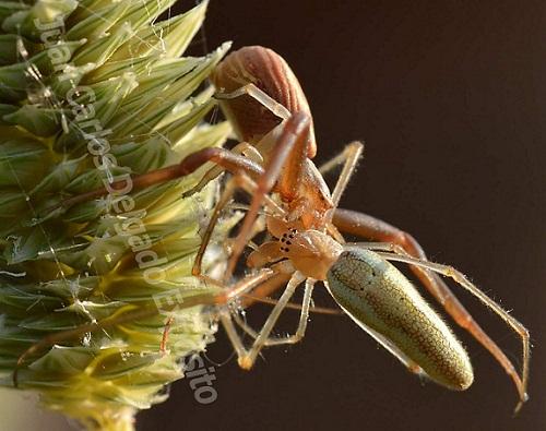 Una araña, la que se encuentra en la posición de arriba de la foto, está devorando a otra en las primeras horas de la mañana, a orillas del río Ardila.  Juan Carlos Delgado Expósito