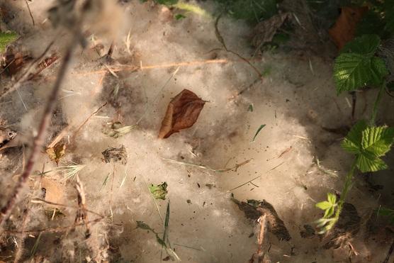 Con estas semillas vestidas de novia que hay en la chopera de la ribera hace el pájaro moscón su nido. Nube blanca. Nube nido.  Mónica Fernández-Aceytuno