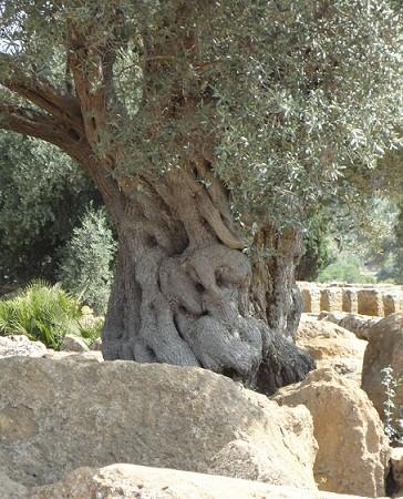 Me he encontrado con este término, atalayar, buscando un olivo para ilustrar el sonido de las chicharras que vengo oyendo toda la mañana.  Mónica Fernández-Aceytuno