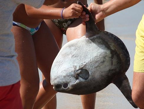 Aunque luego lo devolvieron al agua, este es el pez luna que sacaron ayer unos bañistas del océano.  Mónica Fernández-Aceytuno