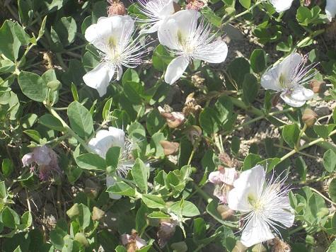 La alcaparrera es una de las pocas especies espontáneas que en pleno verano se encuentran en floración en la España seca.  Joaquín