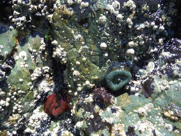 Es la primera vez que observo una Actinia equina verde.  Mónica Fernández-Aceytuno