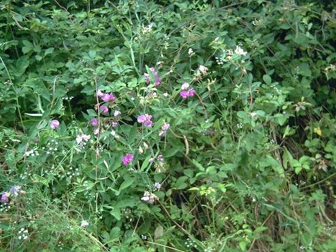 Orquídeas silvestres en Valporonda hace unos días.   María Luisa