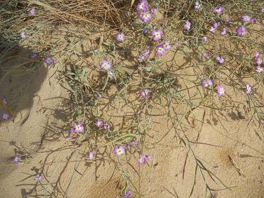 Me da la sensación de que esta preciosa planta, Malcomia littorea, que está en peligro de extinción, ha aumentando su población en las dunas de Playa América.  Joaquín