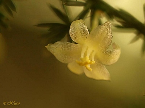 El fotógrafo de la Naturaleza Xisco Vidal nos ha cedido para su divulgación esta imagen de una flor de esparraguera silvestre.  Mónica Fernández-Aceytuno