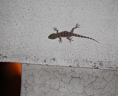 Ayer al anochecer apareció en la azotea de mi casa esta salamanquesa.  Mónica Fernández-Aceytuno