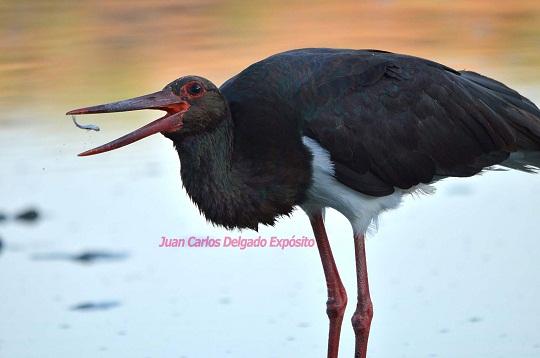 Esta cigüeña negra pescaba con precisión, en el río Ardila.  Juan Carlos Delgado Expósito