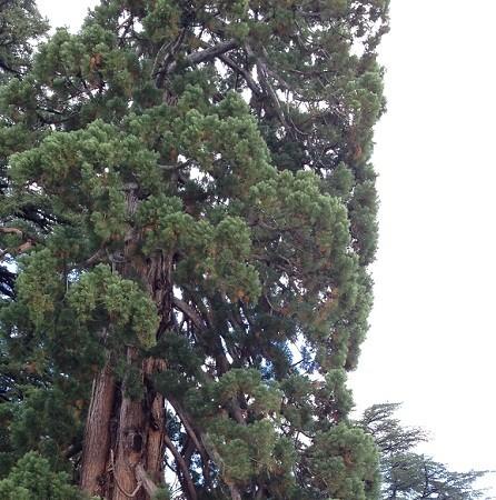 Para que os hagáis una idea de su altura, se me ve a mí, tan pequeña, al lado de este árbol.  Mónica Fernández-Aceytuno