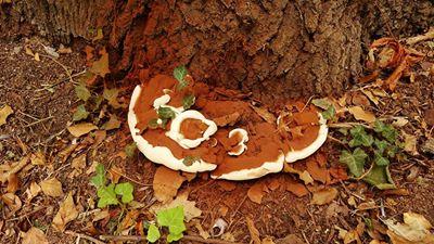 Otra seta que ignoro, esta ha crecido en la base creo que es un roble, está seco y no tiene hojas. Jardín del Príncipe.  Jacinto Lopez Carneros