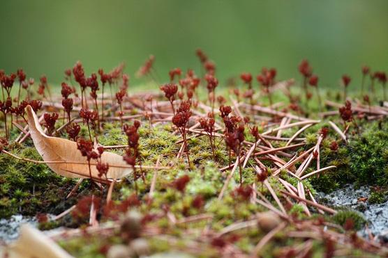 Como almohadas verdes sobre la piedra, eran estos musgos cuyo nombre se mi vino a la cabeza mientras observaba la maravilla de sus esporófitos rojizos.  Mónica Fernández-Aceytuno