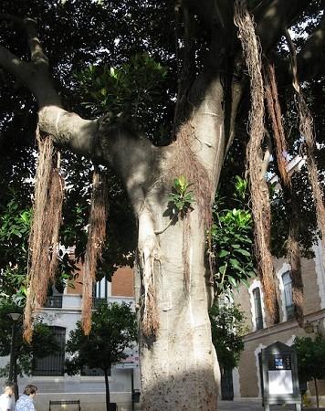 Este ejemplar de Bayán australiano que fotografié con la luz de la mañana, con sus raíces aéreas descolgándose desde las ramas más bajas hacia el suelo.  Pilar
